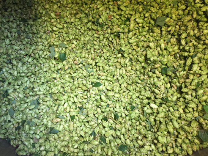 Goldings Green Hops in the Copper